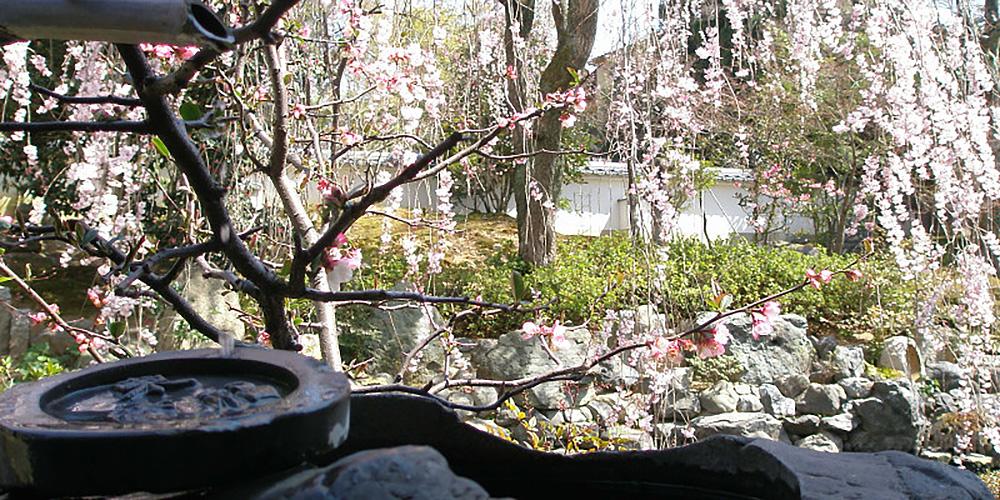 阿保山 願成寺 庭園の桜