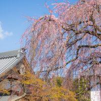 願成寺 本堂と枝垂れ桜