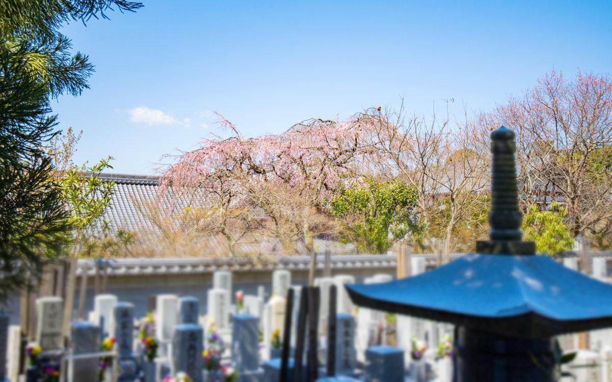 願成寺の墓地と枝垂れ桜