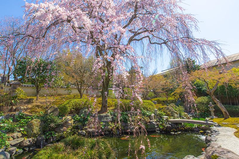 願成寺の庭園-枝垂れ桜