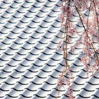 願成寺本堂の屋根瓦と枝垂れ桜