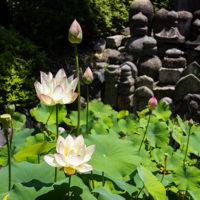 願成寺の蓮の花(開花)