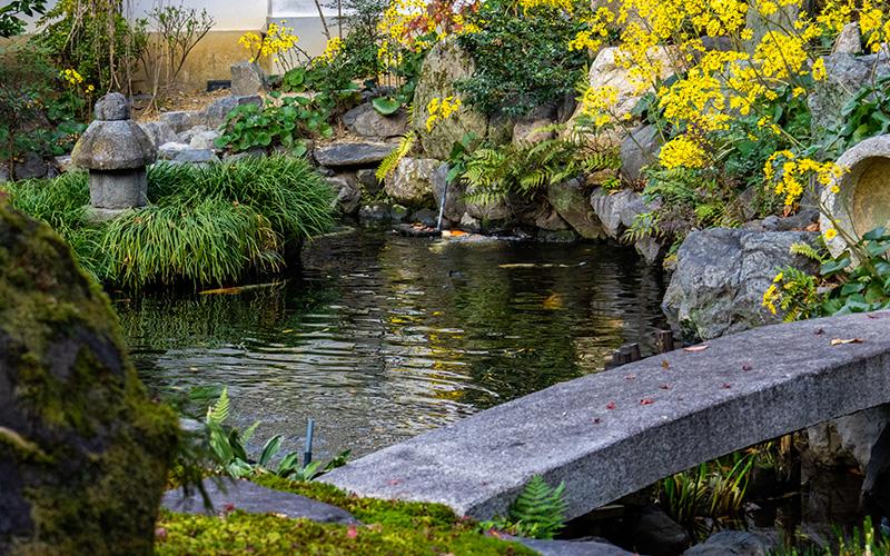 願成寺の庭園池の鯉と石蕗(つわぶき)