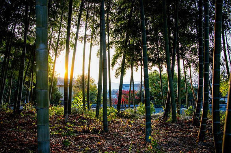 願成寺の竹林