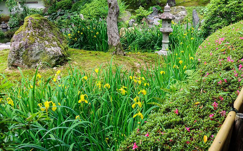 願成寺の水仙とツツジ
