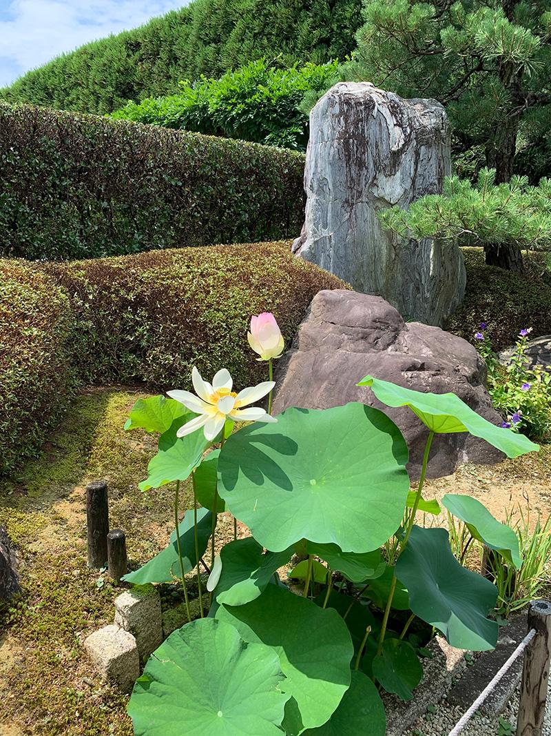 願成寺境内の蓮の花02