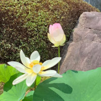 願成寺境内の蓮の花03